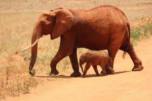 elephant-cub-tsavo-kenya-66898